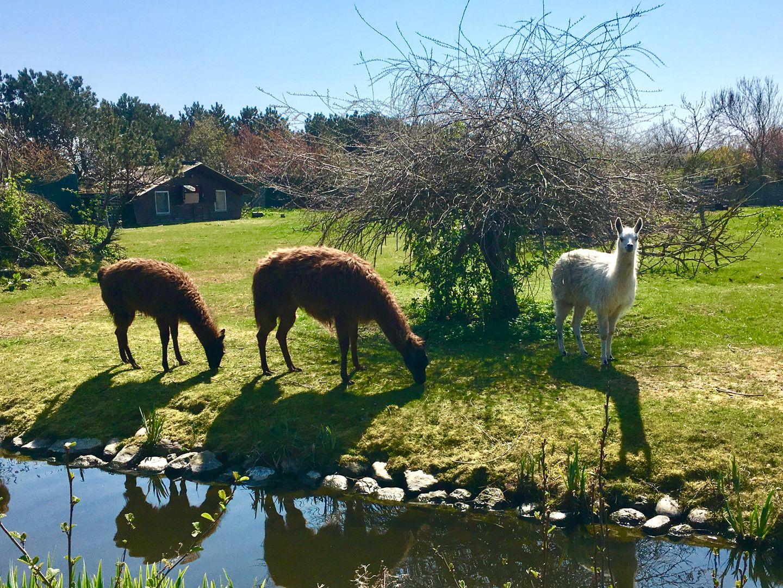Alpakas im Tierpark Tinnum auf Sylt